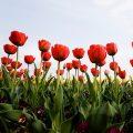 Default_Red-Flowers